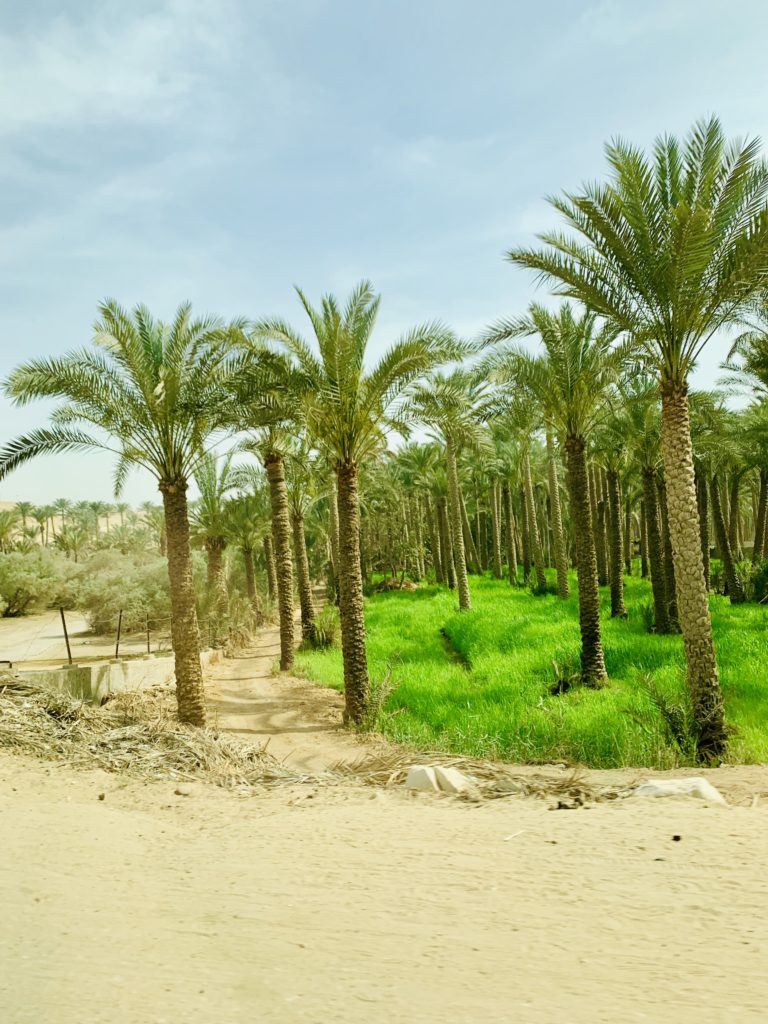 Area with dense palm trees on the way to Saqarra Egypt
